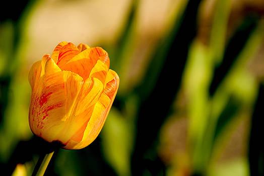 Tulip by Rob Byron