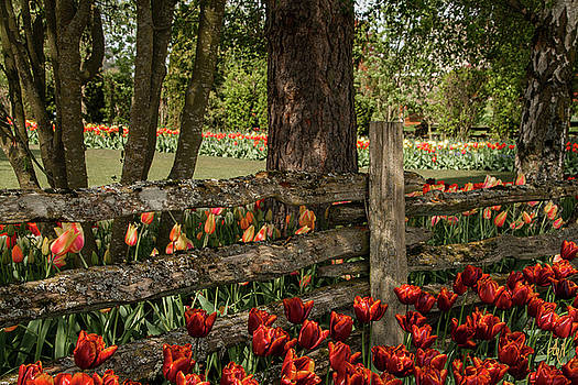 Tulip Time by Victoria Harrington