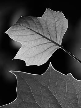 Tulip tree leaves competing for light by Jane Ford