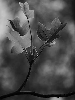 Tulip Tree Leaves in Spring by Jane Ford