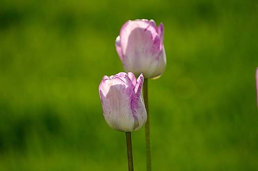 Tulip Two by Sheila Price