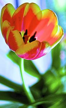 Tulip by Wendell Lowe