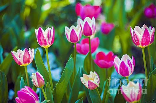 David Zanzinger - Tulips 2