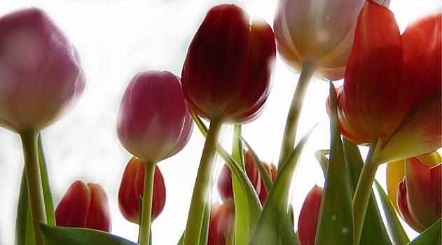 Tulips by Alina Kurkierewicz
