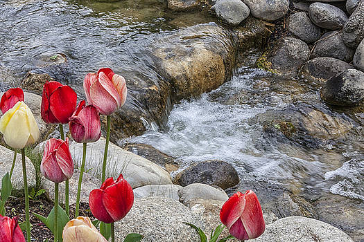 Tulips by the Stream by David Millenheft
