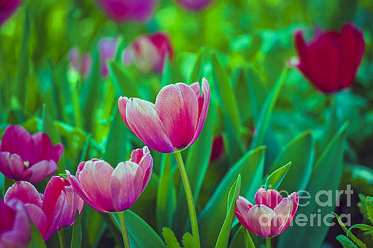 David Zanzinger - Tulips Close Up