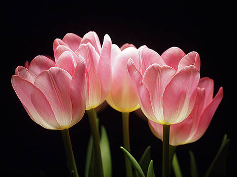 Tulips for Tania by Laurie Stewart
