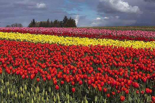 Tulips in Skagit Valley by Bob Stevens