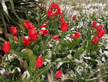 Tulips in the Snow by Ed Sweeney