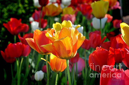 Tulips In The Spring by Nava Thompson