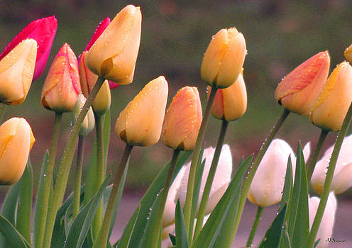 Tulips Leaning by Albert Stewart