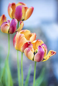 Tulips by Mary Carver