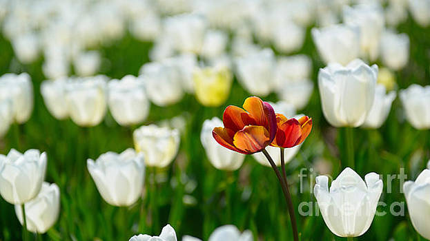 Tulips flowers by Olivier Hudner