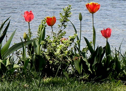 Kate Gallagher - Tulips On The Bay