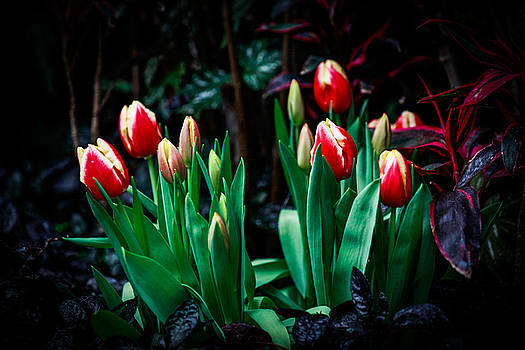 Tulips Rising by Ray Congrove