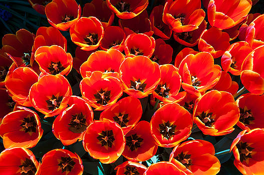 Tulips Tulips and More Tulips by Leesa Toliver