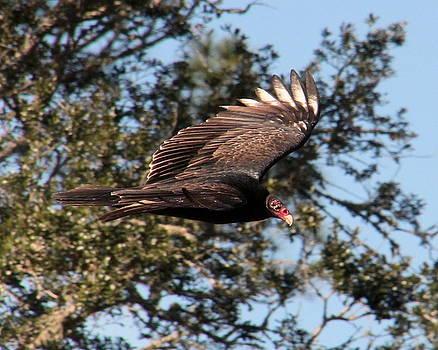 Rosanne Jordan - Turkey Vulture in Flight