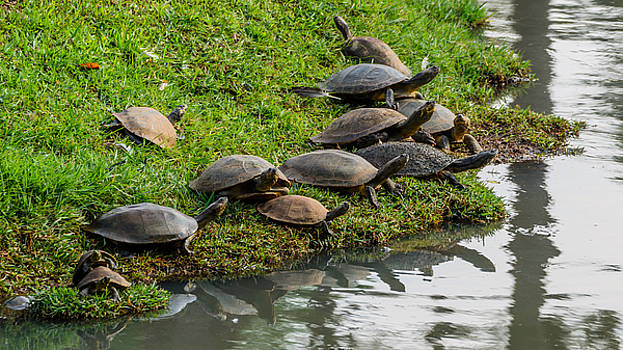 Turtles at the lake by Daniel Precht