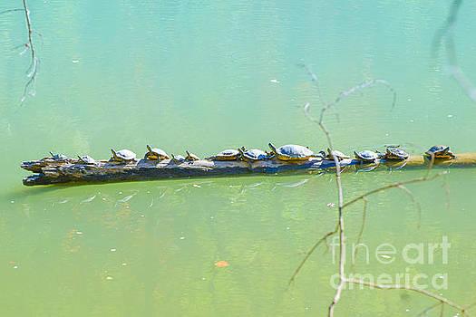Turtles  Sun Bathing  by Peggy  Franz
