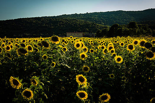 Tuscany - Sunflowers at Sunset by Cesare Bargiggia