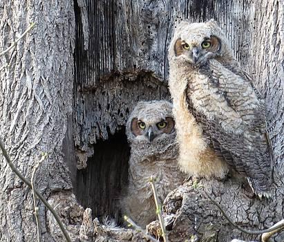 Twin Owls by Jeanette Oberholtzer