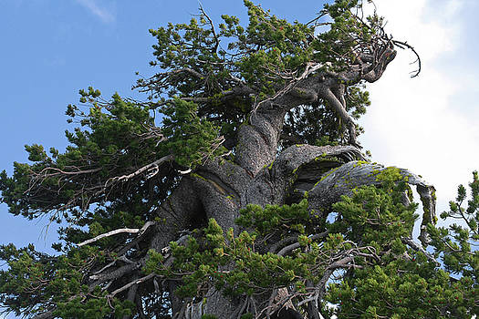 Christine Till - Twisted and gnarled Bristlecone Pine tree trunk above Crater Lake - Oregon