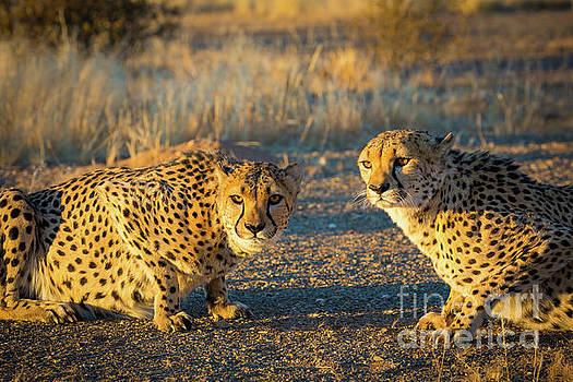 Inge Johnsson - Two Cheetahs