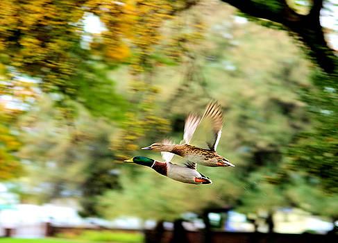 Two ducks in flight by Jeff Swan