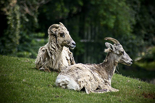 Two Goats by Nora Blansett