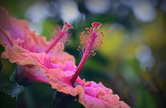 Two Hibiscus by Lori Seaman