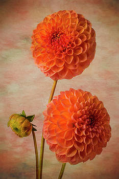 Two Lovely Dahlias by Garry Gay