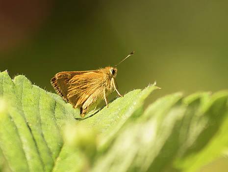 Woodland Skipper Butterfly 7 by Marilyn Wilson