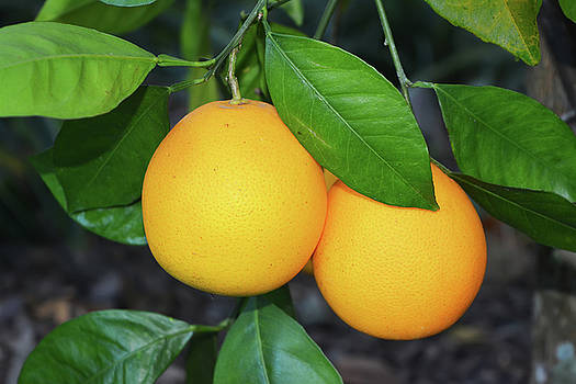 Two Oranges by Aimee L Maher Photography and Art Visit ALMGallerydotcom