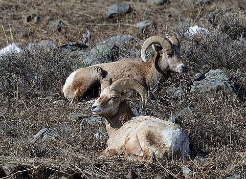 Kae Cheatham - Two Rams Snoozing