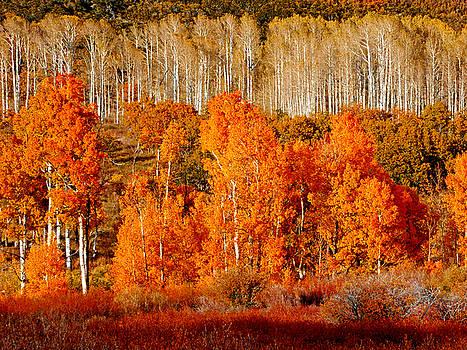 Two Rows of Aspen by Marcia Socolik