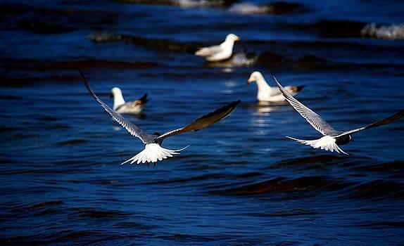 Two Terns a Fly by Amanda Struz