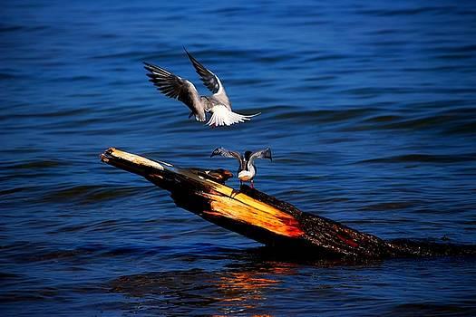 Two Terns a Tango by Amanda Struz