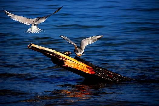Two Terns Today by Amanda Struz