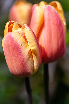 Two Toned Tulips  by Martina Fagan