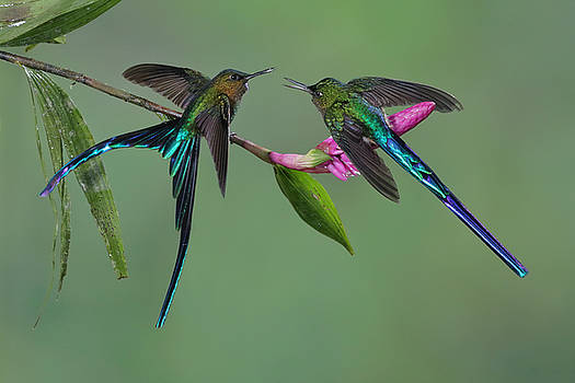 Two Violet-tailed Sylphs in Ecuador by Juan Carlos Vindas