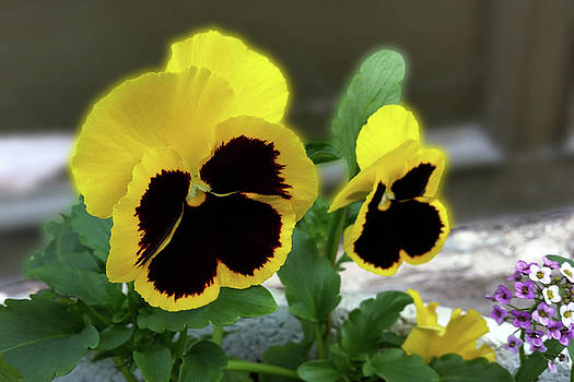 Two Yellow Pansies by Marinela Feier