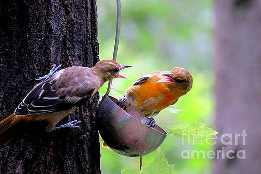 Two Young Orioles by Selma Glunn