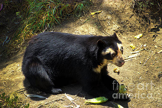 Ukumari, Andean Spectacled Bear by Al Bourassa
