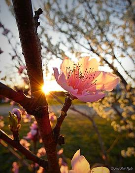 Uncle's Peach Tree At Sunset by Matt Taylor
