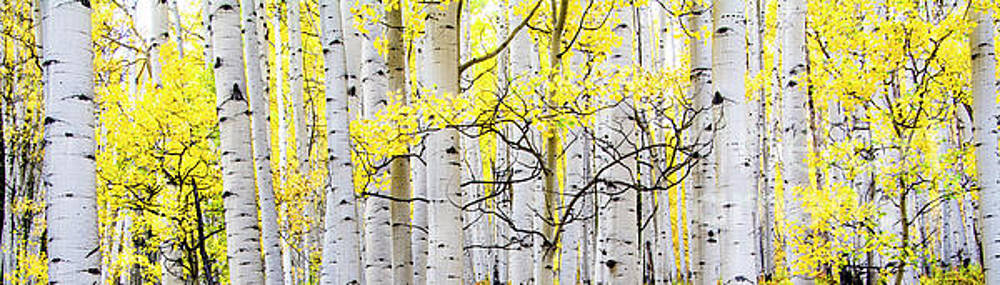 Unititled Aspens No. 6 by The Forests Edge Photography - Diane Sandoval