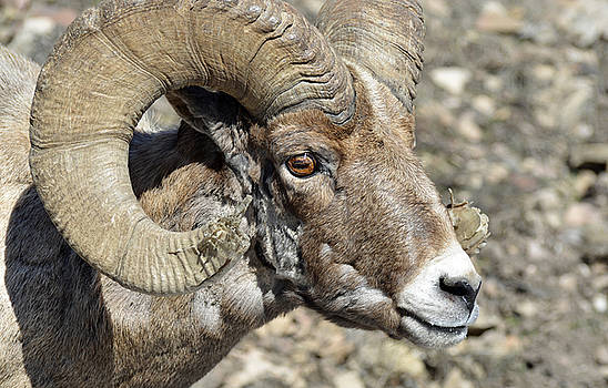 Up Close With a Battle-scarred Bighorn Ram by Bruce Gourley