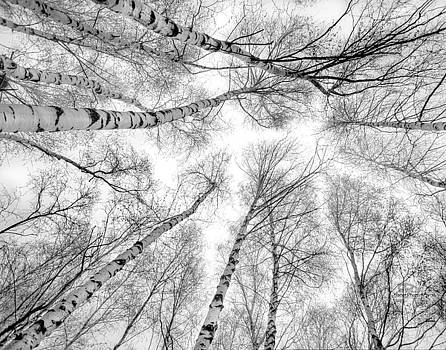 Up Through The Birch by Brian Fisher