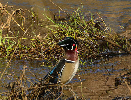 Upright Wood Duck by Jerry Cahill