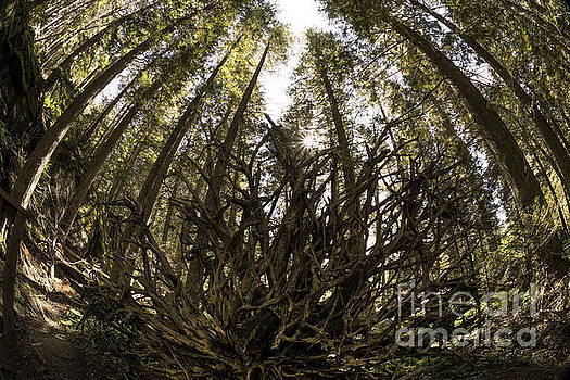 Uprooted Tree in Glacier National Park by Brandon Alms