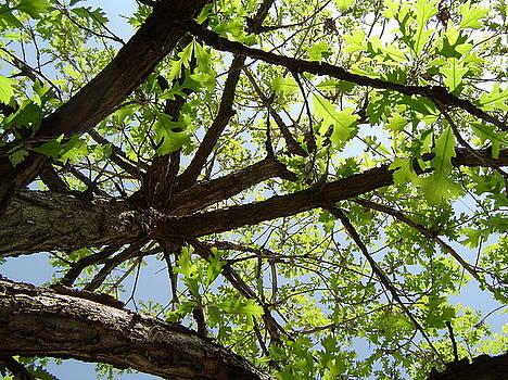 Upside Down Oak by Patty  Leclerc